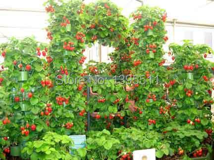 600 PCS Red giant Climbing Strawberry Seeds Fruit Seeds For Home Garden DIY rare seeds for