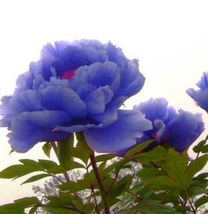 20 pcs Flower Seeds Blue Peony Rare Paeonia Potted Home Garden Plant New(China (Mainland))