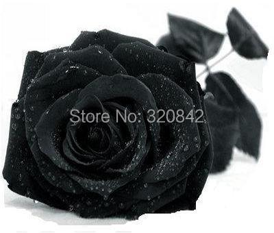 100 Seeds China Rare Black Rose Flower Lover DIY Plants Home Garden Rare Black Rose Flower Seeds Free Shipping(China (Mainland))