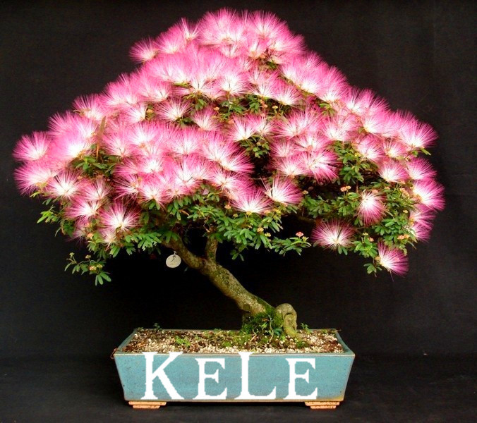 New Arrival 2015!! 20 Seeds/pack bonsai Albizia Flower seeds called Mimosa Silk Tree ,flower potted plants For Garden Home(China (Mainland))