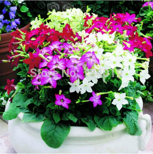 50 pcs / bag , Nicotiana seeds, DIY potted plants, indoor / outdoor pot seed germination rate of 95% mixed colors(China (Mainland))