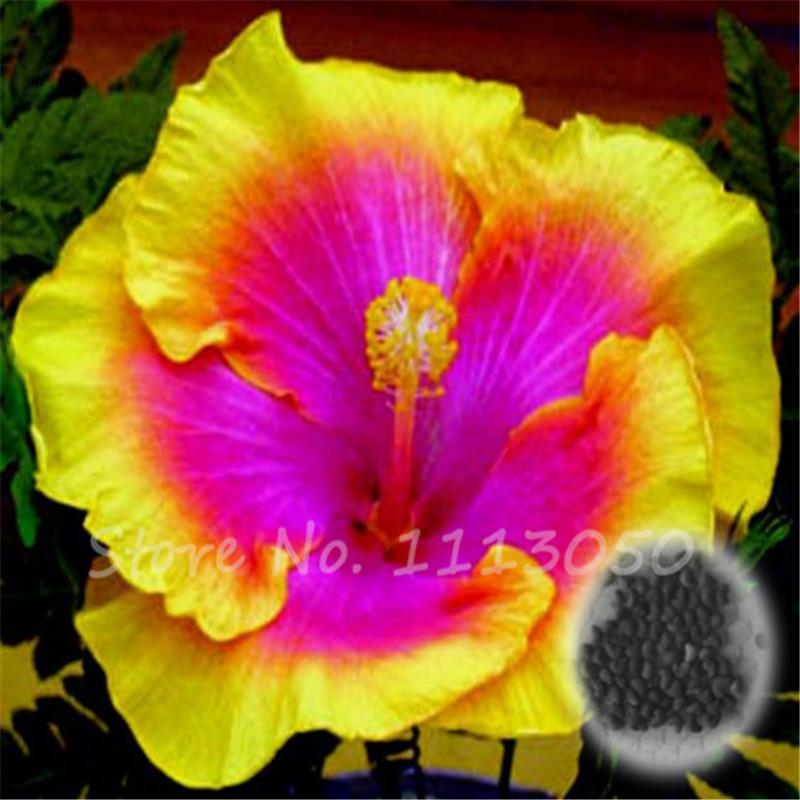 hibiscus semences promotion achetez des hibiscus semences promotionnels sur. Black Bedroom Furniture Sets. Home Design Ideas