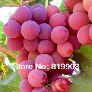 30 RARE GIANT PINK GRAPE SEEEDS * IN BULK PACKING * HEIRLOOM * PLUS AN MYSTERIOUS GIFT * FREE SHIPPING
