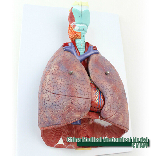 2015 new hot [CMAM] Lung Model with larynx, Full Life Size, 7 part , Anatomy Models > Lung Models > Education Model(China (Mainland))