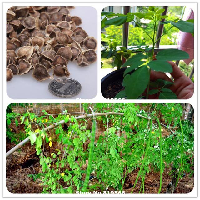 100 real chinese moringa oleifera seeds rare lamu bonsai for 100 degree chinese cuisine