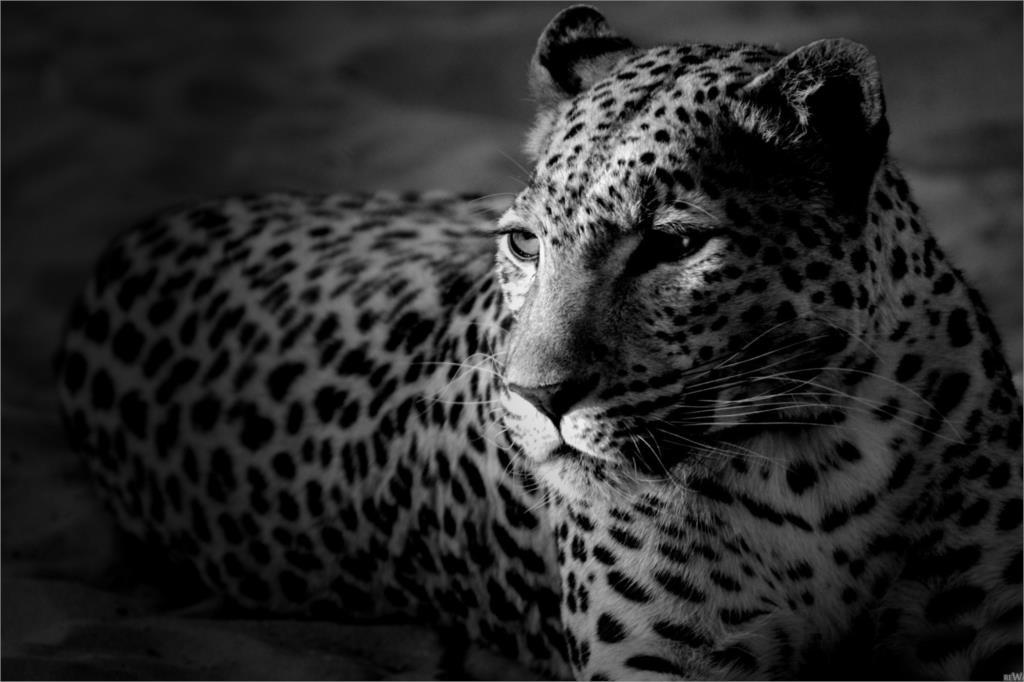 Свирепый гепарды большой Cat