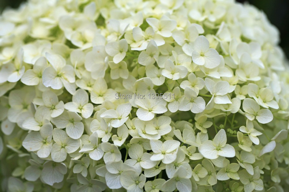 Free shipping 9 kind rare Flower seeds 20 bag purple Hydrangea Viburnum macrocephalum seed flower pot