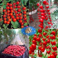 100 - Greek Tomato Seeds Heirloom Sweet Gardening Seeds Plants Non Gmo Vegetable Seeds For Home Garden Planting Sent Gift