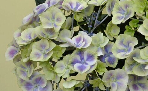 500pcs a lot green blue double color Hydrangea macrophylla flower seed 100% real with 30pcs japanese pine tree seed as gift(China (Mainland))