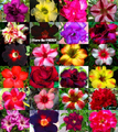 20 Fresh Rare Blue Sky Adenium Obesum Seeds Bonsai Desert Rose Flower Plant Seeds