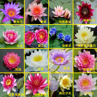 Hydroponic flowers small water lily seeds mini lotus seeds bonsai seeds set hydrophyte 30 pcs seeds