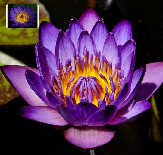 Professional Packs, 2 Seeds/pack, Purple Nymphaea Caerulea Asian Water Lily Pad Flower Pond Seeds(China (Mainland))