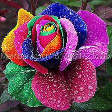 Free shipping 300pcs/bag seeds rainbow rose seeds roses plants cuttings of roses sementes de flores casa jardim home&Garden gift(China (Mainland))