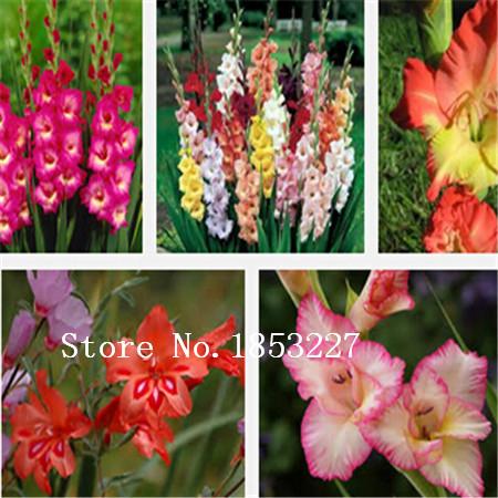 100pcs DWARF Flamenco angel's Trumpets bonsai Gladiolus seeds for home garden(China (Mainland))