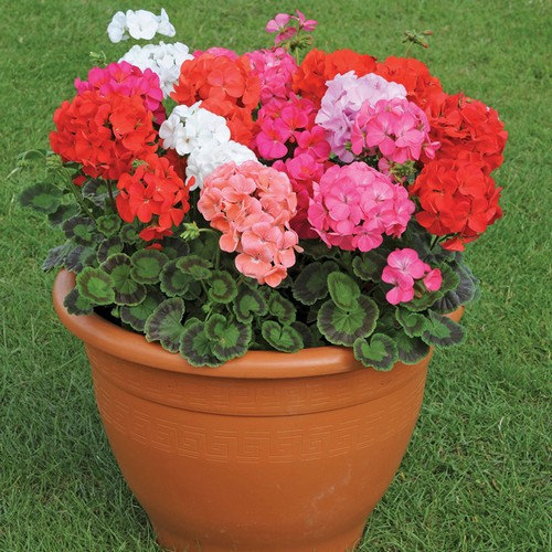 100pcs Geranium seeds potted balcony planting seasons Pelargonium potted sprouting 95 mixed color flower seeds Free