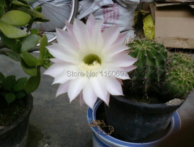 Free Shipping hot selling white 60pcs flower pots planters cactus plants sementes mini flower for DIY home garden bonsai(China (Mainland))