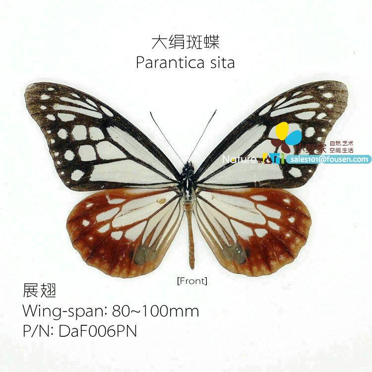 FOUSEN Nature&Art Parantica sita preserved butterfly(China (Mainland))