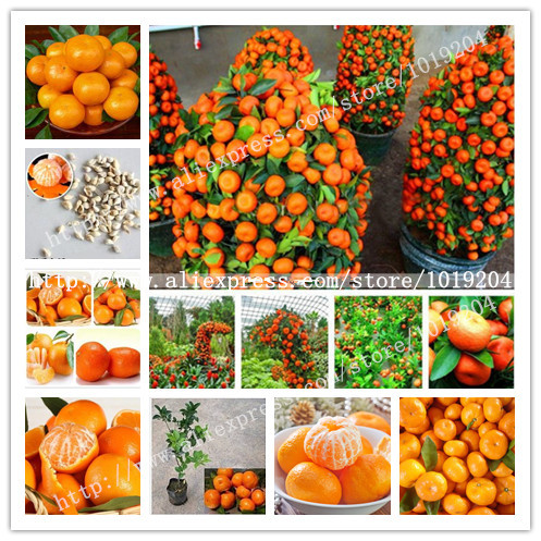 Delicious golden orange seed,20PC Mini potted fruit tree seeds, Interesting Bonsai Plant(China (Mainland))