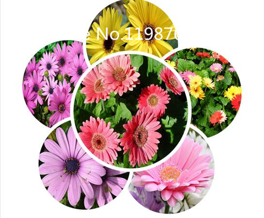 Special Price Promotion! 100 gerbera Seeds 10 kinds mixed packed, Flower Seeds High Germination DIY Garden Perennial Blooming Pl(China (Mainland))