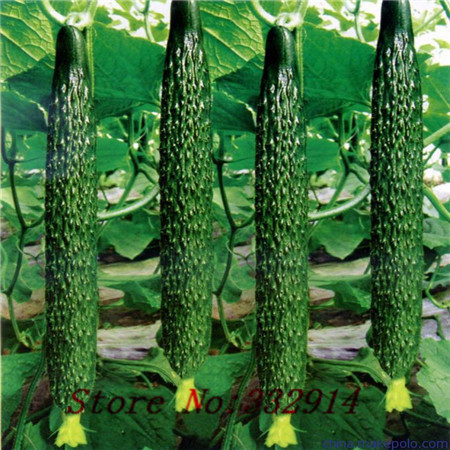 20seeds/bag Original vegetable seeds cucumber seeds xinjin fourth research balcony potted cucumber(China (Mainland))
