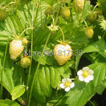 New Home Garden Plant 20 Seeds Fragaria Vesca White Wild Strawberry Fruit Seeds Free Shipping(China (Mainland))