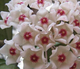 2000pcs a lot morning white with little red color hydrangea flower Seed for your lover 100% real(China (Mainland))