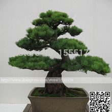 Free Shipping 50pcs/bag Japanese Pine Tree Seeds Bonsai Flower Easy To Plant Diy(China (Mainland))