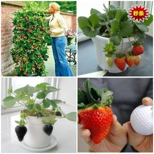 16 kinds strawberries strawberry seeds, Germination 95% + fresh ,50pcs/bag You can choose 3 styles from the bellowing pictures(China (Mainland))