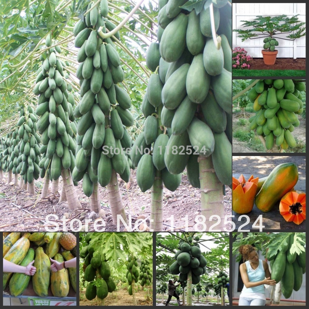 2014 Rushed Special Offer Outdoor Plants Very Easy Sementes Fruit Seeds free Shipping 20pcs/lot Papaya Tree Seeds ~ Bonsai Fruit(China (Mainland))