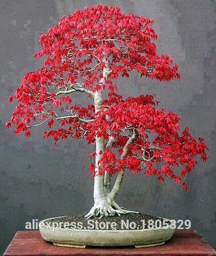 Crimson Queen Japanese Maple Bonsai Japanese Red Maple Bonsai