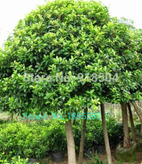 2015 50pcs high quality ficus microcarpa seeds rare tree seeds free shipping in bonsai from home. Black Bedroom Furniture Sets. Home Design Ideas