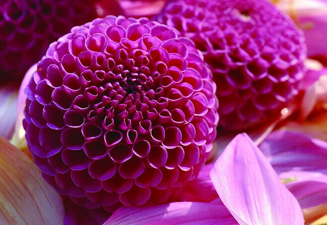 100pcse dahlias seeds flower Seeds for supplies sementes de flores for Home decoration casa e jardim semillas de plantas gift(China (Mainland))