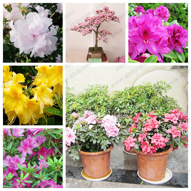 Rhododendron seeds potted Azalea biji flower seeds, varieties complete 200 particles / bag(China (Mainland))