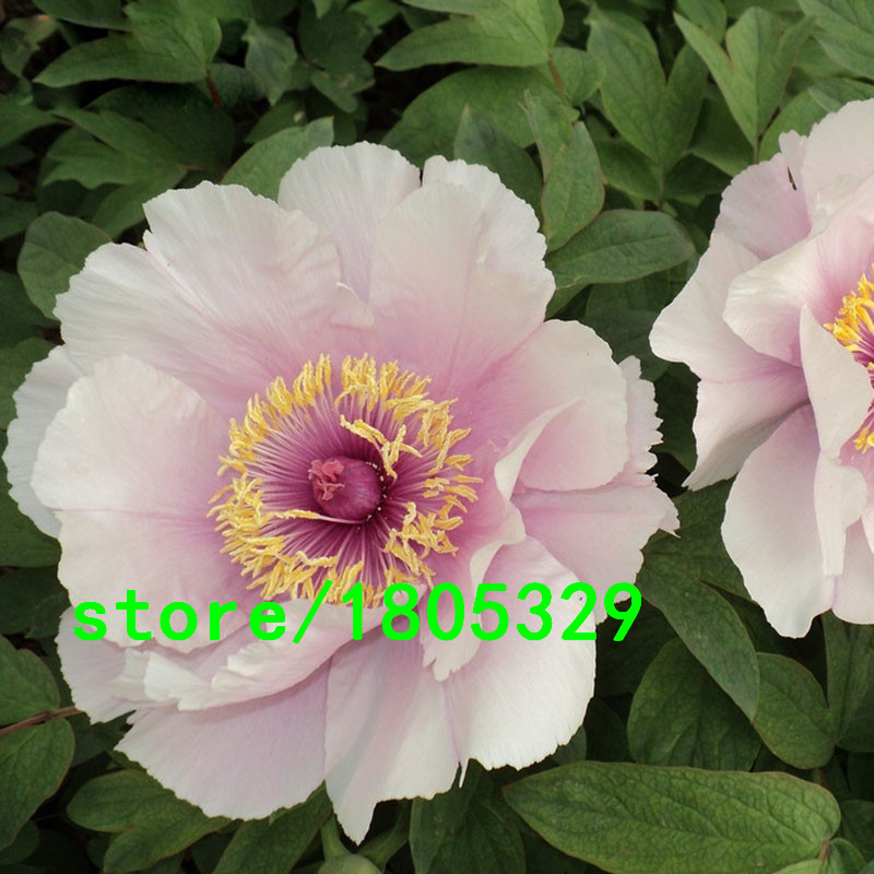 Hot Sale Rare Pink Lotus Peony Flower Seeds Potted Flowers Bonsai Plant Seeds for Home Garden 5 particles / lot(China (Mainland))