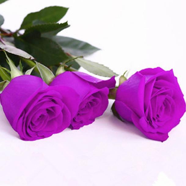 100-PCS-Seeds-font-b-Violet-b-font-Rose-