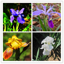 Buy 50 pcs /lot,Iris seeds, flower seed, variety complete, budding rate 95%, (Mixed colors) DIY home garden free a11 for $1.22 in AliExpress store