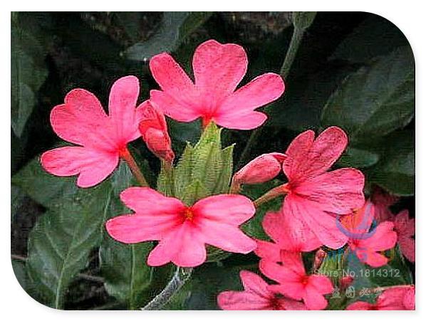 Фейерверк, Crossandra nilotica, 50 семян, Кричащий коралловые цветет, Велик