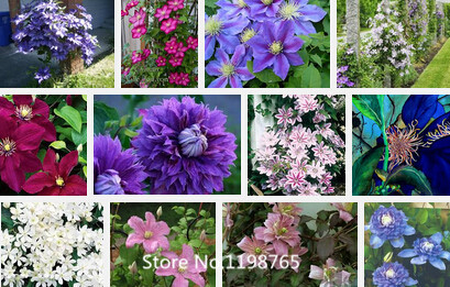 Promotion 500 pcs/bag,clematis seeds,clematis plant flower seeds,clematis send you mixed colors total 500 for home garden Novel(China (Mainland))