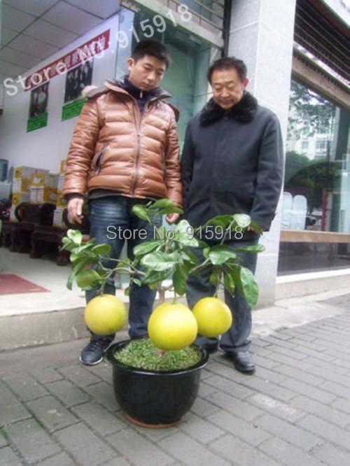 online kaufen gro handel pomelo baum aus china pomelo baum gro h ndler. Black Bedroom Furniture Sets. Home Design Ideas