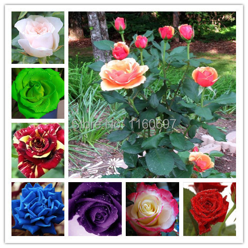 Rose flower seeds Bonsai seed flower seeds 200pcs Rainbow Blue Pink White Yellow Red Green Purple Black Roses sementes de rosa(China (Mainland))