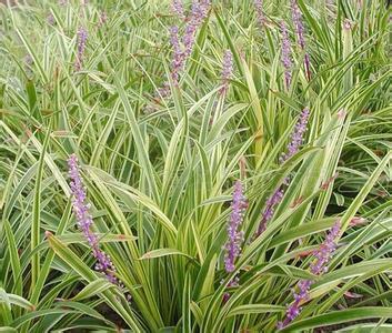 Здесь можно купить  1kg 10:1 Ophiopogon japonicus extract Ophiopogon extract  Красота и здоровье