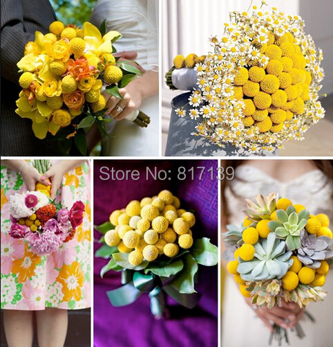 New Home Garden Plant Billy Buttons Craspedia Globosa 50 seeds *Dry flower* Cut Flower* Adorable* Free Shipping(China (Mainland))