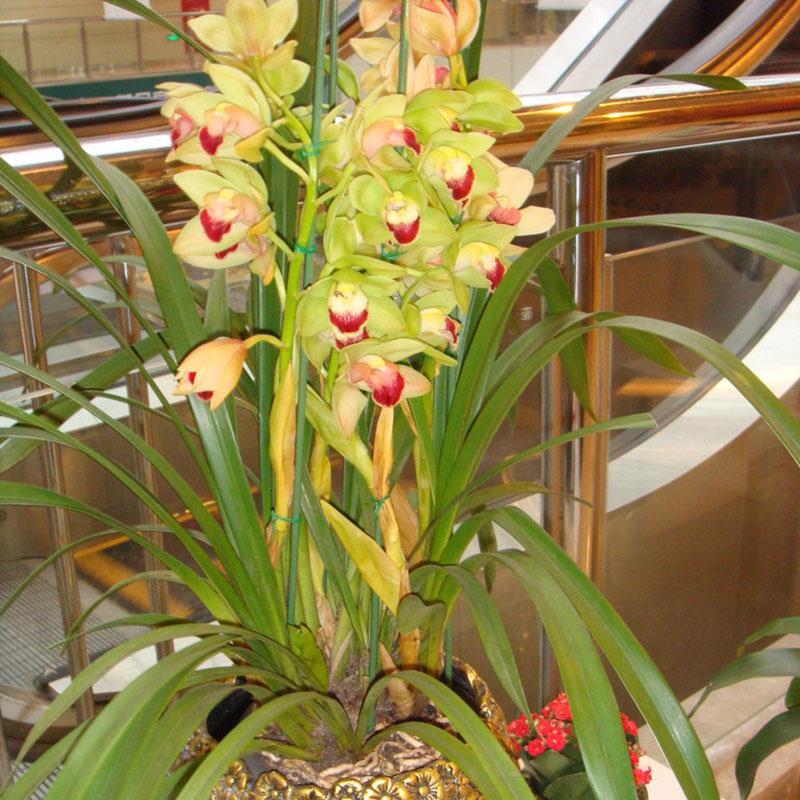 orchid es cymbidium achetez des lots petit prix orchid es cymbidium en provenance de. Black Bedroom Furniture Sets. Home Design Ideas