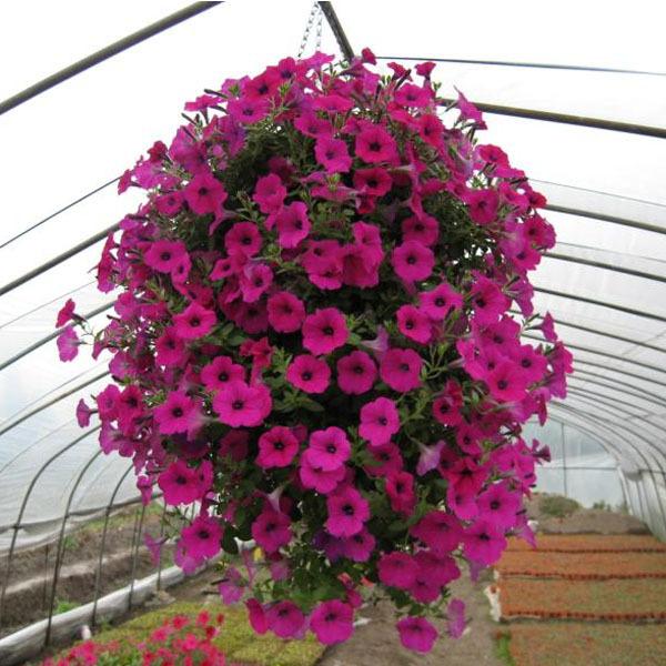 Image gallery trailing petunias - Plantas colgantes de exterior ...