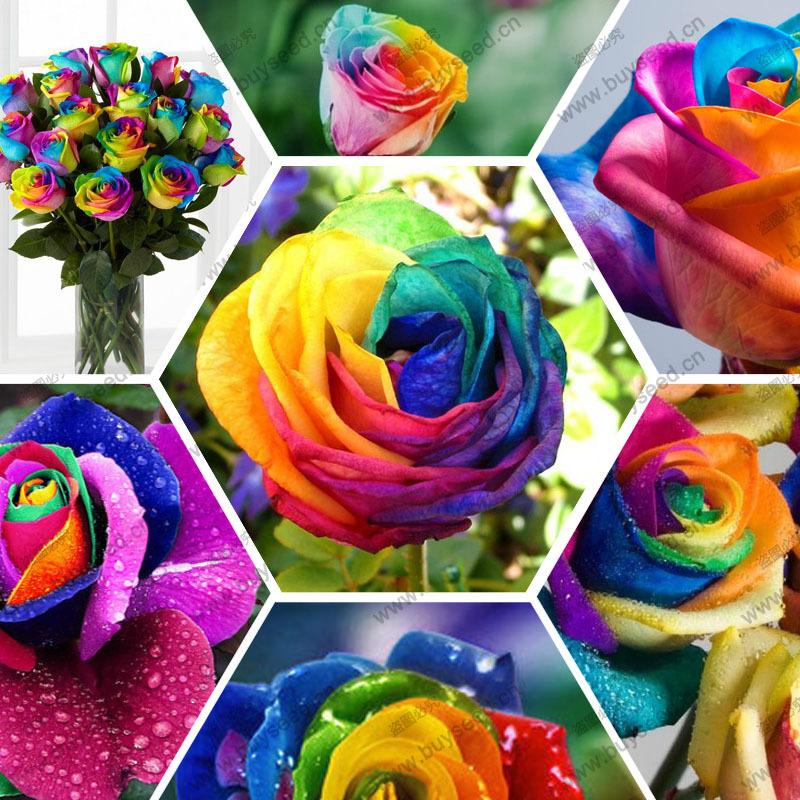 rainbow rose Plant seeds rose flower seeds rose rainbow seed, 100 particles / bag(China (Mainland))