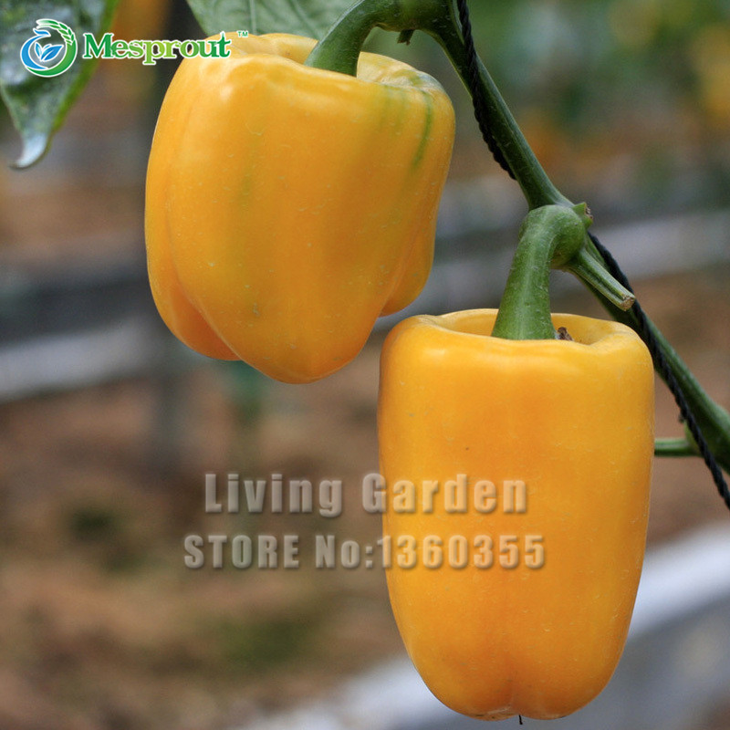 Hot Sale! Yellow Peppers Yellow Bell Pepper Seed Courtyard Garden Plants Greens Vegetable Seeds 100 PCS(China (Mainland))