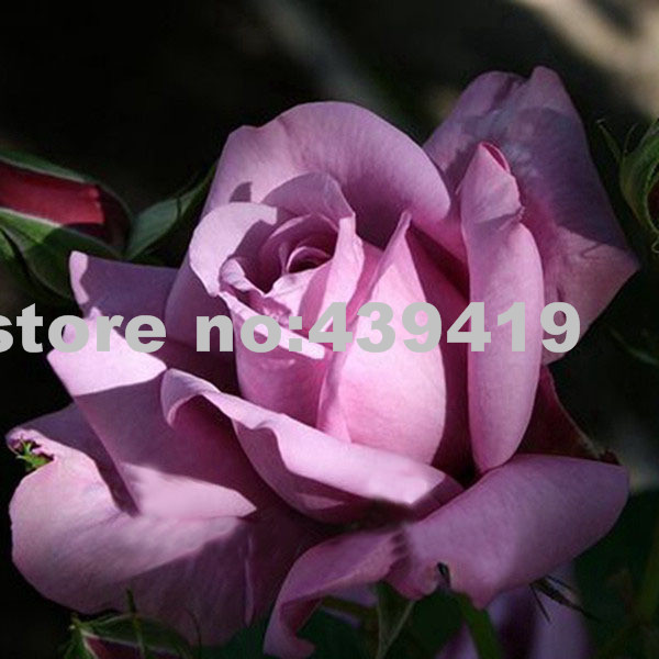 100 Sterling Silver Rose Seeds Romantic Color Good Gift for DIY Home Garden's Lover Bush Bonsai Yard Flower Free Shipping(China (Mainland))