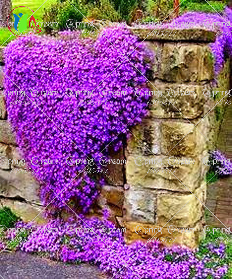 Buy 100 Rock Cress Aubrieta Cascade