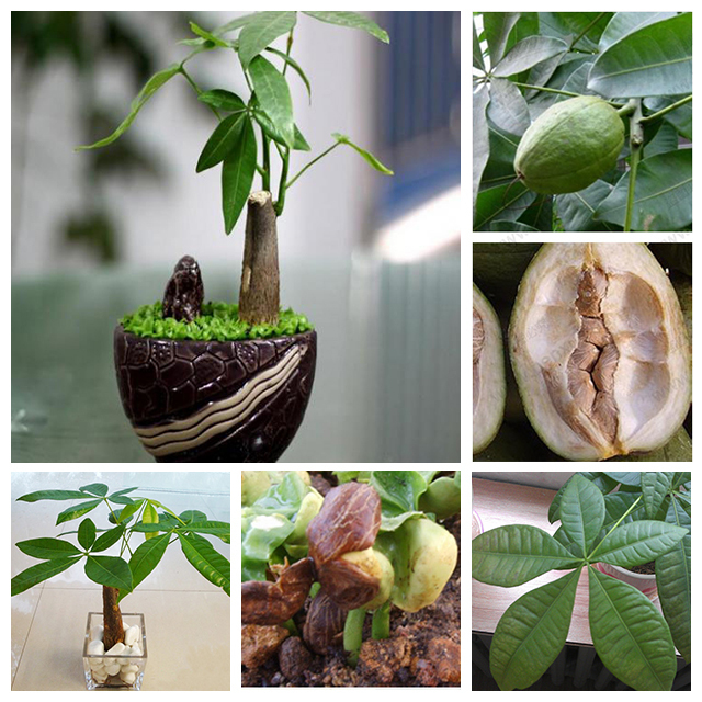 The money tree promotion shop for promotional the money - Planta china del dinero ...