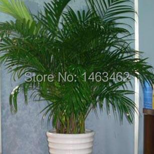 Acheter 15 pcs saco chrysalidocarpus for Acheter plante interieur